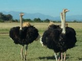 Adult ostrich for sale