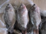 Tilapia (Oreochromis niloticus)100-200