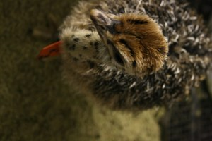 Adorable ostrich chick for sale