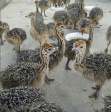 Ostrich chick for sale